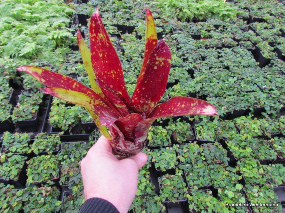 Neoregelia Green Red
